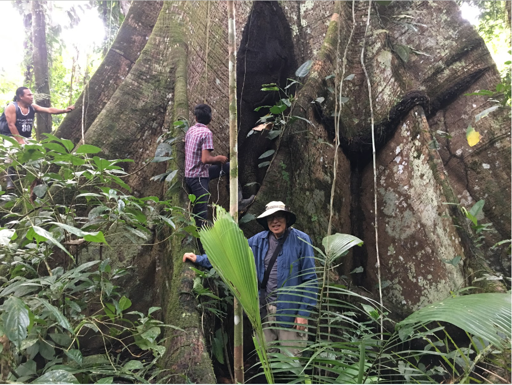 Saibo Trees - Known to be the largest trees in the Ecuadorian Amazon. The fruit of the Saibo is sought after by a wide diversity of birds and monkeys